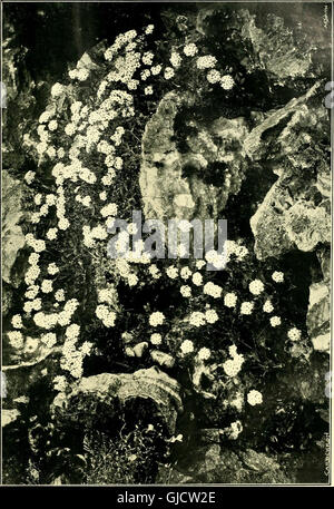 The Gardeners' chronicle - a weekly illustrated journal of horticulture and allied subjects (1903) - Stock Photo