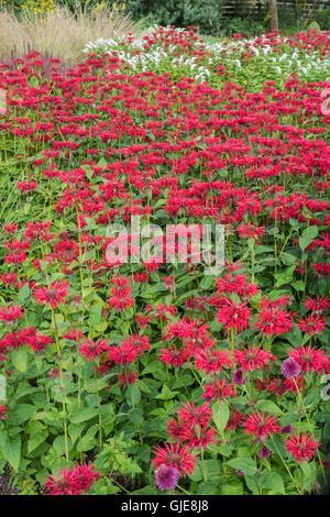 Herbaceous perennial border in full summer glory, RHS Harlow Carr garden, Harrogate, UK - Stock Photo