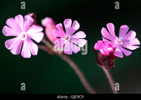 a trio of red campion wild flowers Jane Ann Butler Photography JABP1566 - Stock Photo