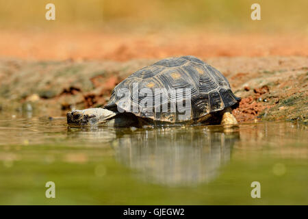 Texas Tortoise (Gopherus berlandieri), Rio Grande City, Texas, USA - Stock Photo
