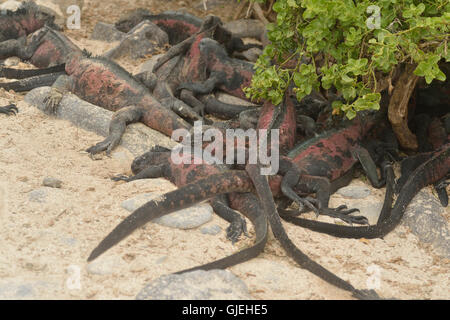 Marine iguana (Amblyrhynchus cristatus), Galapagos Islands National Park, Espanola (Hood) Island, Punta Suarez, - Stock Photo