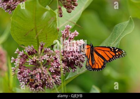 Monarch (Danaus plexippus) nectaring host milkweed flowers, Greater Sudbury, Ontario, Canada - Stock Photo