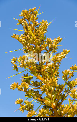 Wild Spaniard grass, Muzzle Station, Clarence River, South Island, New Zealand - Stock Photo
