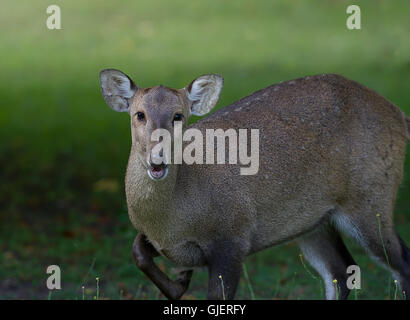 Adult female deer looking straight at camera - Stock Photo