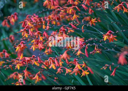 Coppertips falling stars montbretia flowers Crocosmia crocosmiflora - Stock Photo