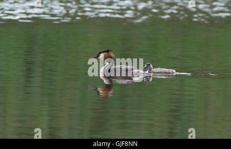 Great Crested Grebe-Podiceps cristatus swims with chick. Uk - Stock Photo