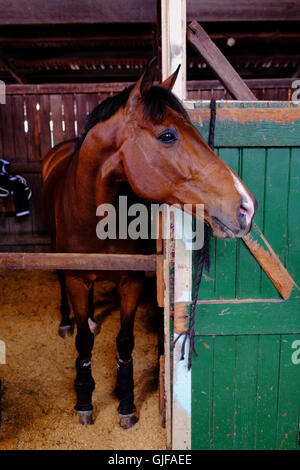 Brown horse in a stable with a green door - Stock Photo