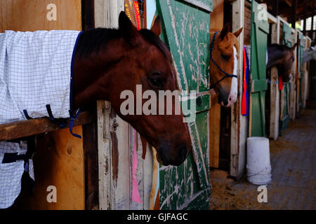 Horses in a stable with green stable doors - Stock Photo