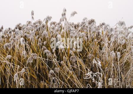 Frozen reed in foggy winter - Stock Photo