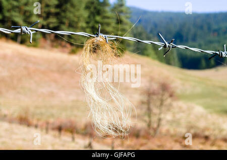 Horsehair on barbed wire fence - Stock Photo