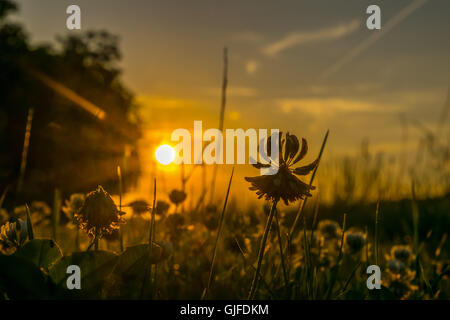 grass and clover silhouettes in orange sunset light - Stock Photo