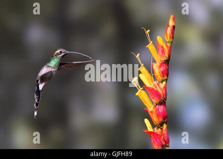 A White-whiskered hermit hummingbird feeding near Milpe, Ecuador - Stock Photo