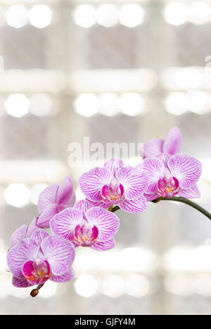 Blossoming orchid flowers with sunny light in glass windows - Stock Photo