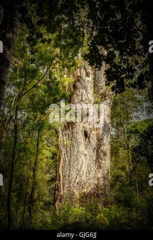 Tane Mahuta, the lord of the forest: one of the largest Kauri trees in Waipoua Kauri forest in New Zealand - Stock Photo