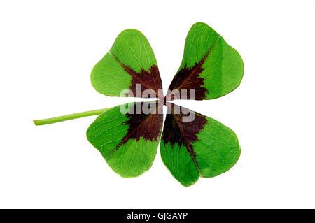 lucky clover - Stock Photo