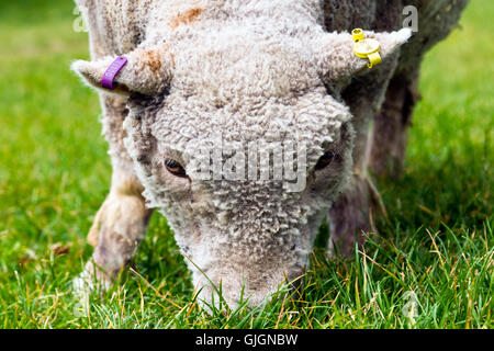 Close-up of a sheep at a community farm in South Gloucestershire, UK - Stock Photo
