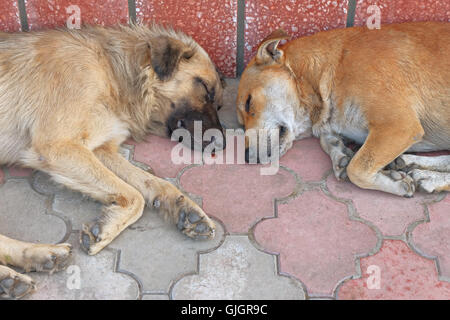 View of two homeless dogs lying head-by-head on pavement - Stock Photo