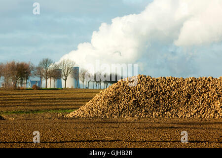 BRD, Deutschland, NRW, Rhein-Kreis Neuss, Grevenbroich, Neurath,  Zuckerrüben auf Feld, dahinter das RWE-Kraftwerk - Stock Photo