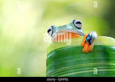 Tree frog sitting on leaf, Indonesia - Stock Photo