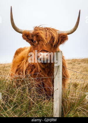 A highland cow scratches its cheek on a fence post while looking at the camera - Stock Photo