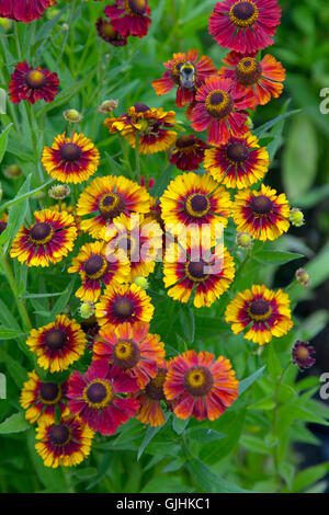 Helenium autumnale Red and Gold Hybrids - Stock Photo