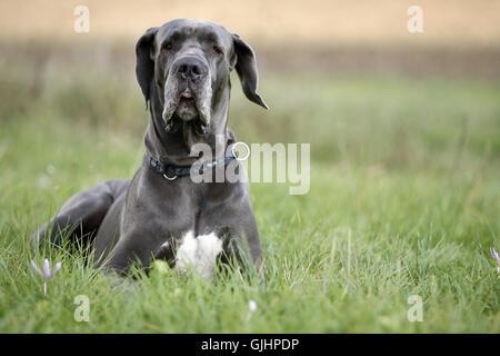 german mastiff dog - Stock Photo