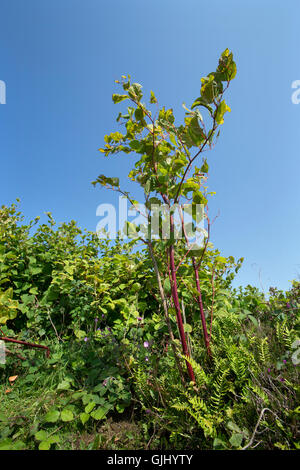 Growing to over six feet tall Japanese Knotweed is an invasive plant which can seriously damage buildings and construction - Stock Photo