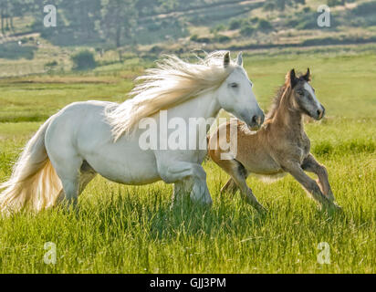 12 year old Gypsy Vanner Horse mare with 2 month old foal run across tall grass field - Stock Photo