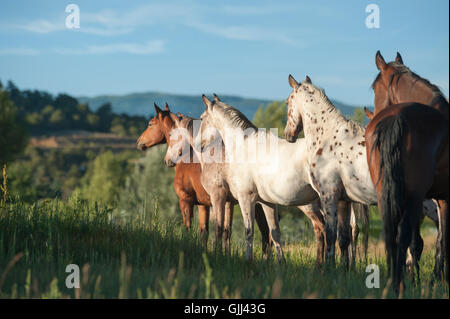 Tiger Horse herd stands alertly on tall grass hillside. The Tiger horse is a modern reconstruction of an ancient - Stock Photo