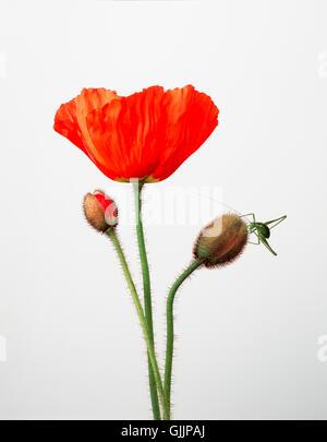 poppy with grashuepfer - Stock Photo