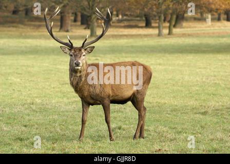 deer reindeer hart - Stock Photo