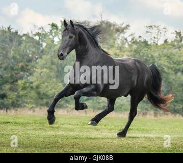 Friesian Horse stallion gallops across green grass pasture - Stock Photo