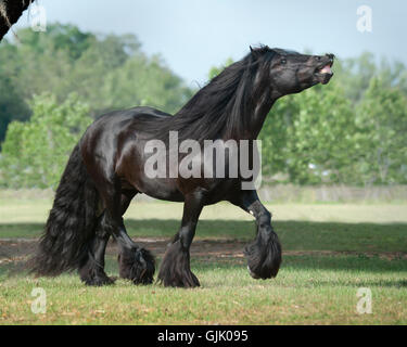 Gypsy Vanner Horse stallion sniffing the air [flehmen] - Stock Photo