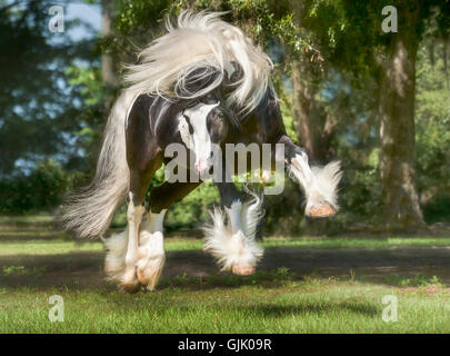 Gypsy Vanner Horse stallion bucks and plays in green pasture - Stock Photo
