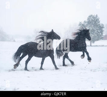Two black Friesian Horse mares running in snowstorm - Stock Photo