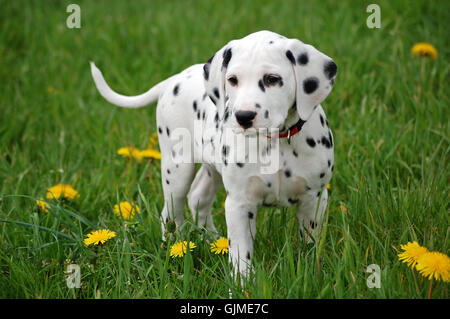 quadruped dog dalmatian - Stock Photo
