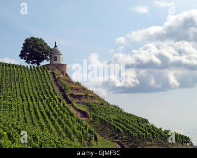 cultivation of wine vineyard Dresden - Stock Photo