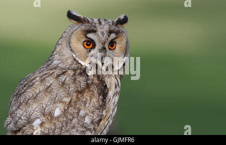long-eared owl,asio otus - Stock Photo