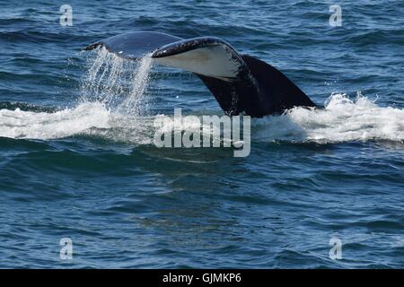 Humpback whale showing fluke during feeding dive - Stock Photo