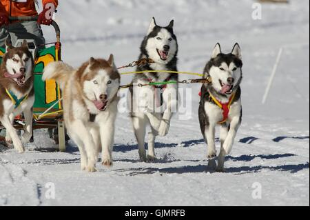 dogs dog sledding event - Stock Photo