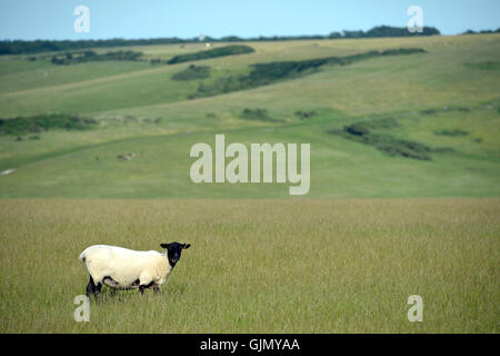 Sheep in the South Downs National Park, East Sussex, UK - Stock Photo