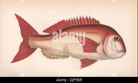 COUCH'S SEA BREAM. Pagrus orphus, Pogellus Rondeletii. COUCH, old print 1862 - Stock Photo