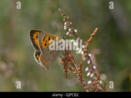 Small copper butterfly (Lycaena phlaeas) resting on heather in Surrey, England - Stock Photo