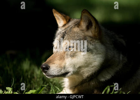 European grey wolf (Canis lupus) - Stock Photo