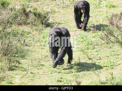 Male Common chimpanzees (Pan troglodytes) walking towards the camera, the younger one following the dominant male - Stock Photo