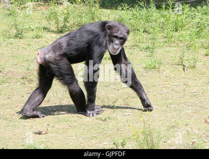 Mature male Common chimpanzee (Pan troglodytes) walking past, looking at the camera - Stock Photo