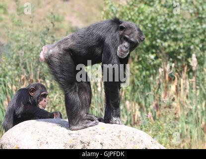 Mature male Common chimpanzee (Pan troglodytes) posing on top of a rock - Stock Photo