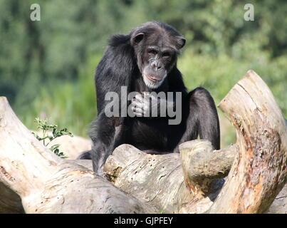 Mature male Common chimpanzee (Pan troglodytes) in a thoughtful mood, striking a pose - Stock Photo