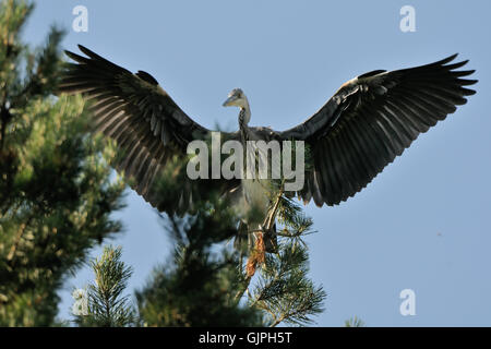 Grey Heron (Ardea cinerea) at pine tree. National park Plesheevo Lake, Yaroslavl region, Russia - Stock Photo