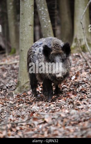 wild boar pig proboscis - Stock Photo